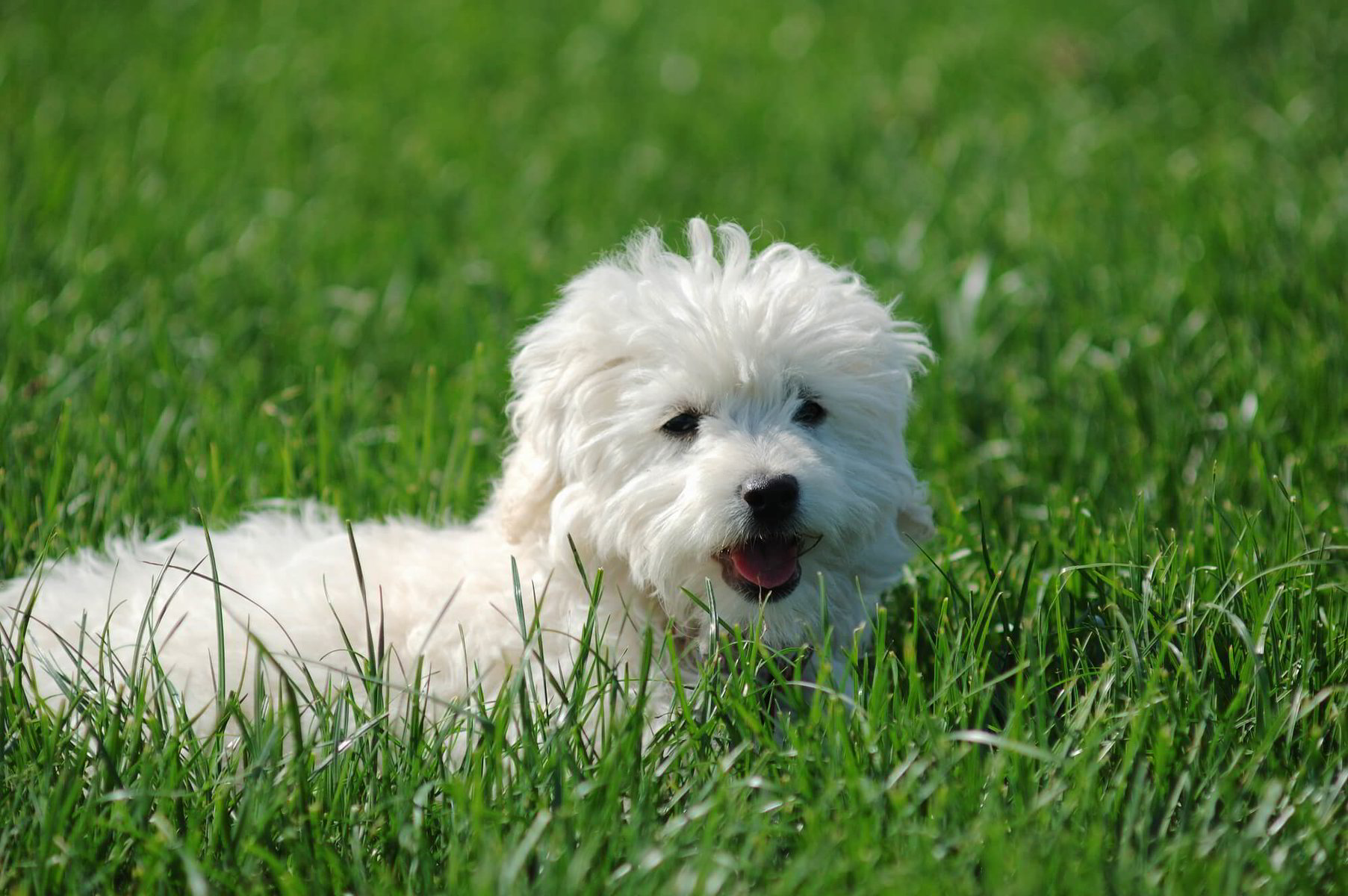 Maltese dog that doesn't shed