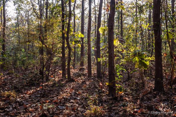 Title - 'Forest Foliage', Fine art photography print of Landscapes series by artist Sanjay Marathe