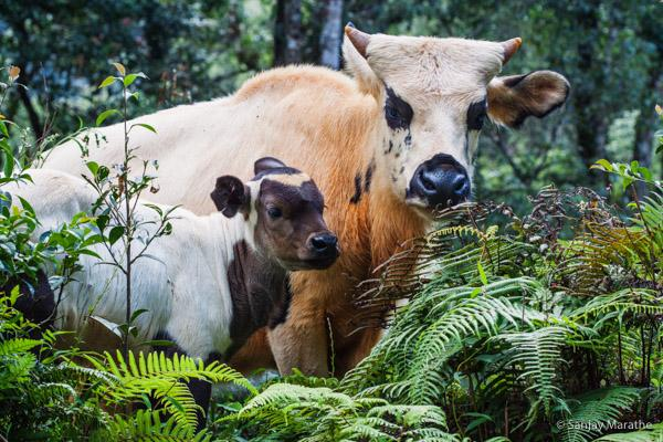Title - Mithun and Calf, Wildlife Fine art photography print of Wildlife series by artist Sanjay Marathe
