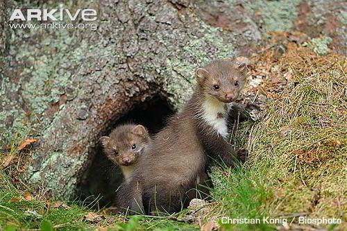 mannetje en vrouwtje steenmarter nog niet in huis maar in bos