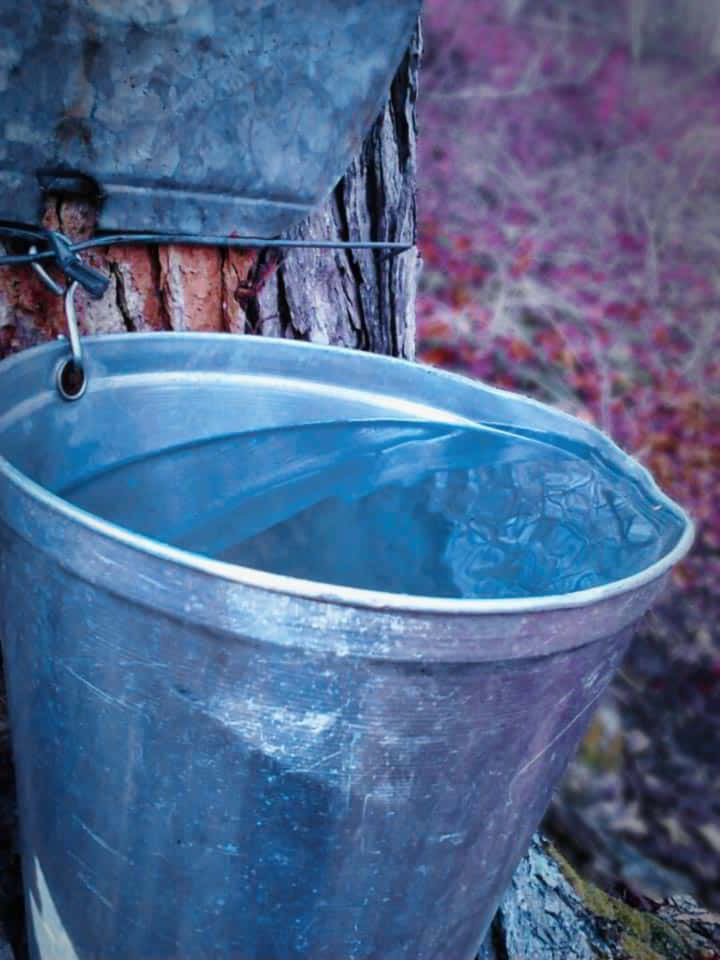 Bucket collecting sap hanging from maple tree